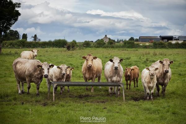 Mucche in una strada secondaria in Irlanda