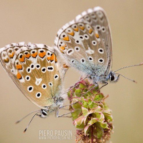 Licenide farfalla macrofotografia